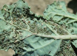 Turnip aphids on canola leaf.