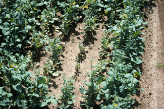 Aphid damaged area in field