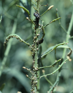 Aphids on canola stalk causing deformed and aborted pods.