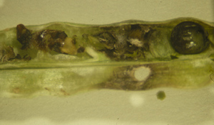 seed damage by cabbage seedpod weevil larva