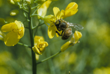 Honey bee foraging on canola flowers.