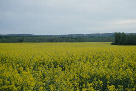 Canola production in georgia uga cooperative extension canola field mightylinksfo