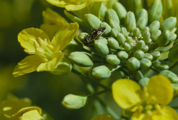 Lygus bug adult on canola flower buds.