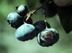 Fruit rot