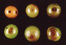 Macrophoma rot