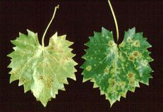Angular leaf spot