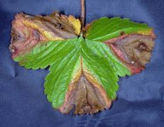 Phomopsis leaf blight