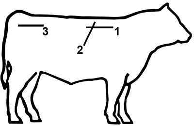 drawing of cow with ultrasound measurement sites