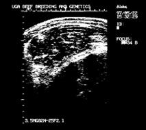 ultrasound image, ribeye