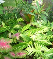 Alpinia, Setaria, Canna, Philodendron, Caladium