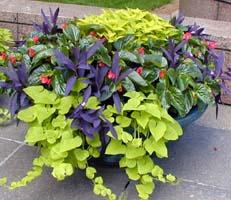 glossy Begonia 'Dragon Wing'