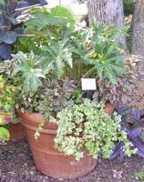 Begonia foliage