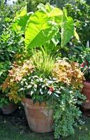 Hedera helix green ripple variegata creeping
