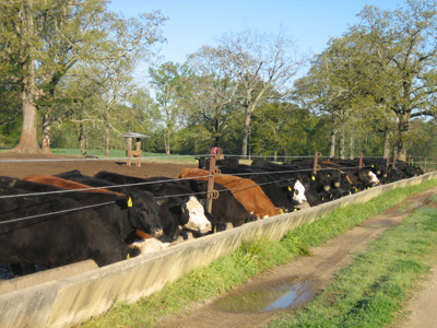 heifers eating at a trough