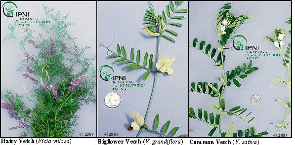 Hairy Bigflower and Common Vetch