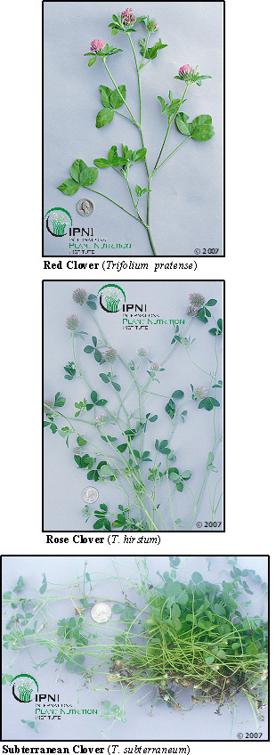 Red Rose and Subterranean Clovers