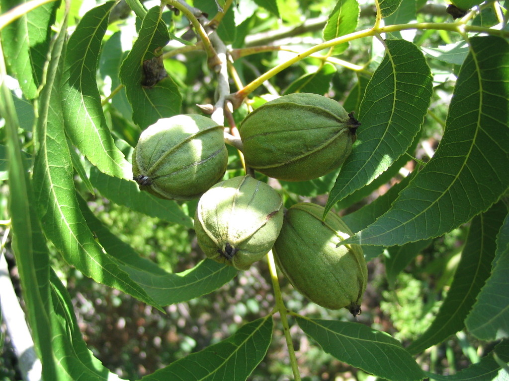 pecan trees for the home or backyard orchard uga cooperative