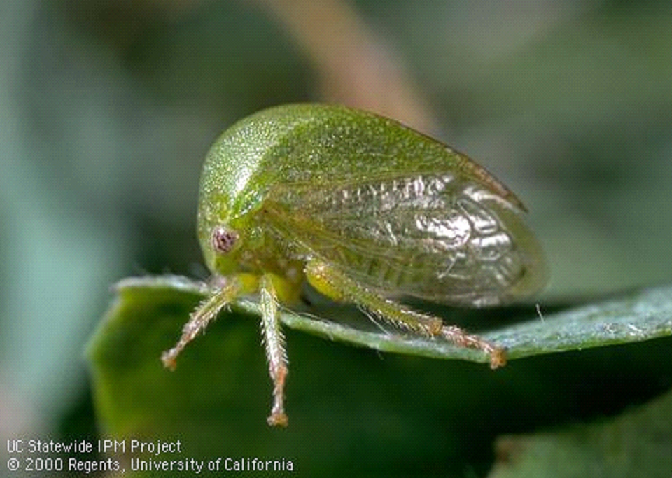 Three cornered alfalfa hopper