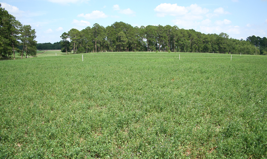 Tift Co Alfalfa pasture