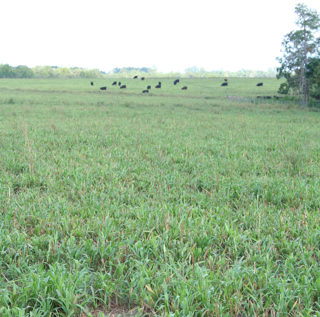 Cows grazing a pearl millet pasture in Tift Co.