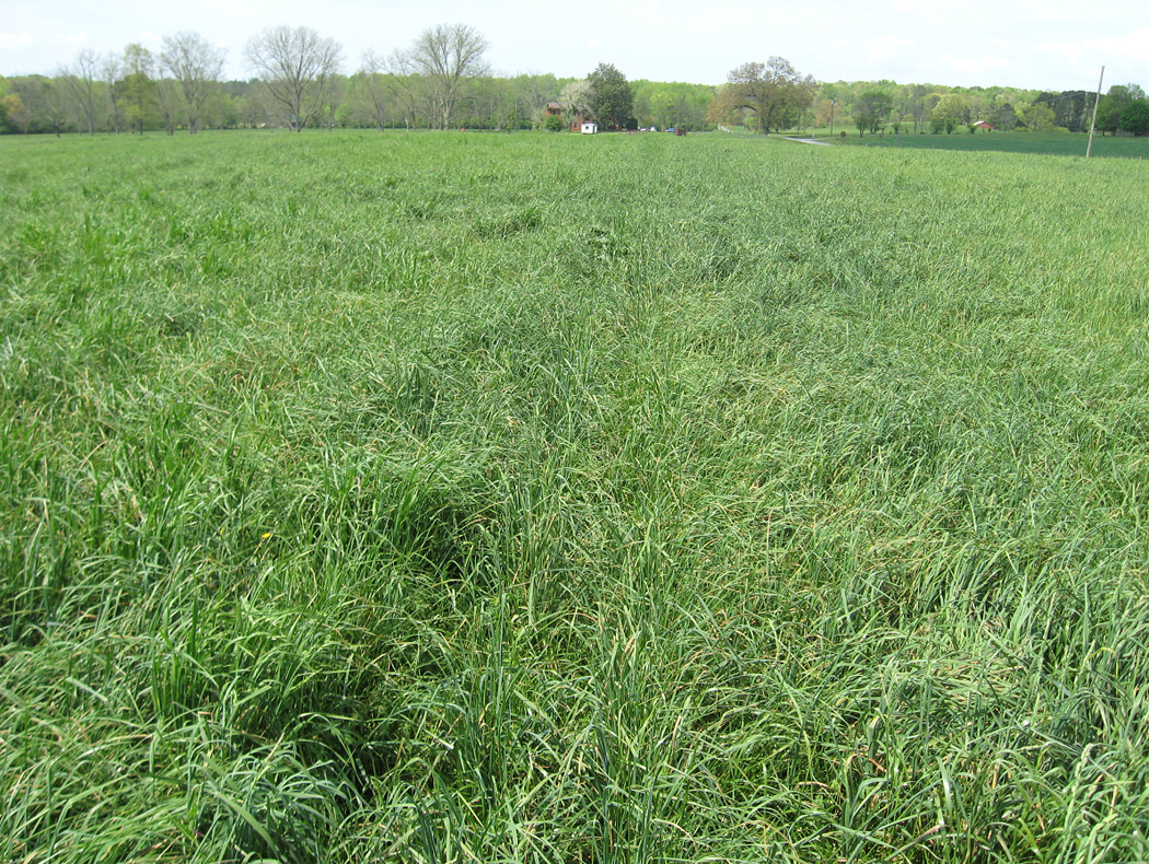 Orchardgrass hay field in Bartow Co