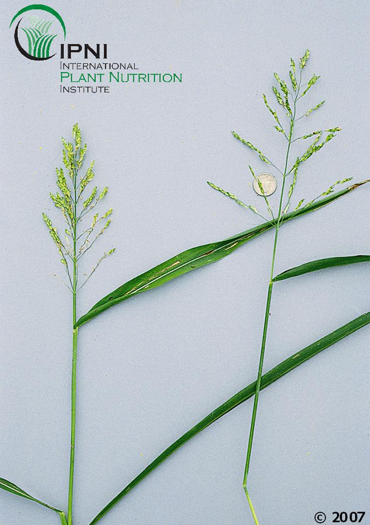 Sudangrass