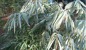 cold-hardy bamboo
