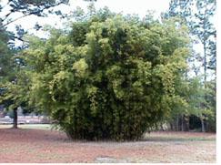 hedge bamboo