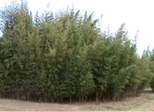 henon bamboo
