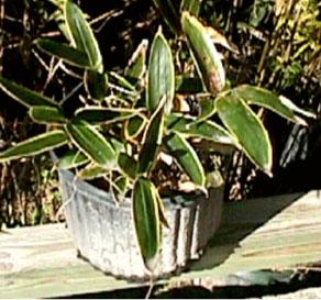 kuma zasa bamboo