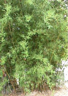 silverstripe bamboo
