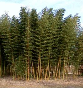vivers bamboo