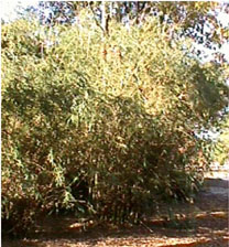 willowy bamboo