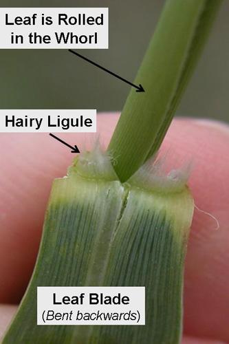 Collar region of a switchgrass leaf - blade and ligule