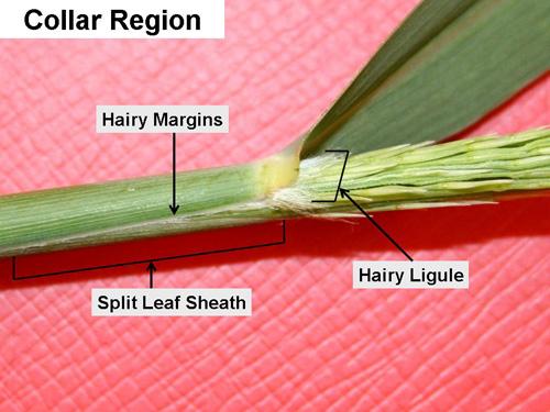 Collar region of a switchgrass leaf - sheath and ligule