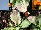 Cercospora leafspot