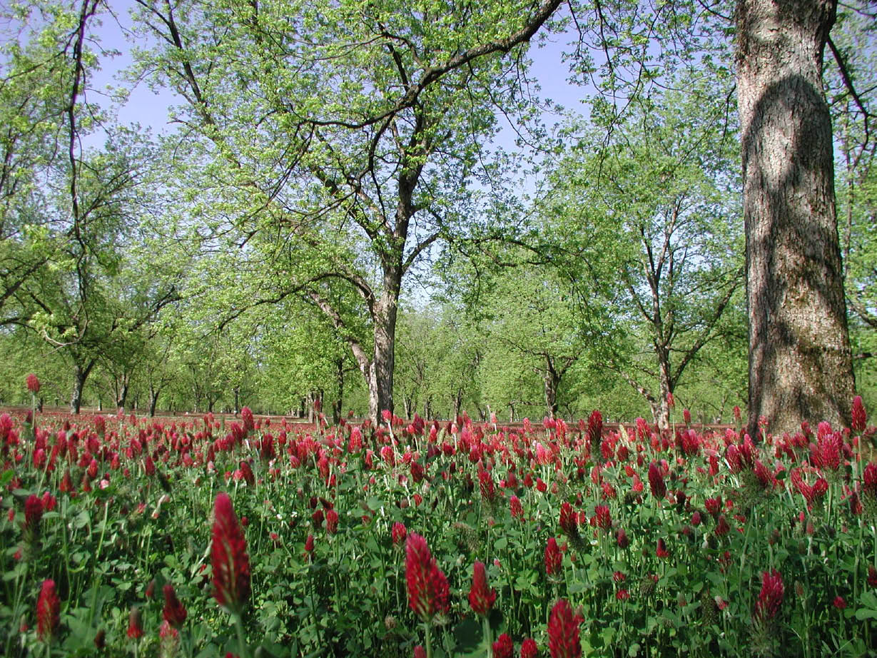 A well-established stand of crimson clover