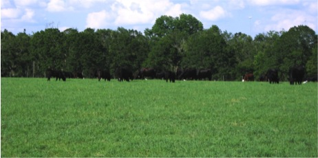 cows grazing in a landscape