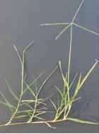 Figure 3. Plantulas de Bermuda. (Foto: P. McCullough.)