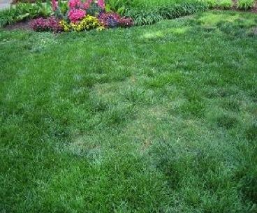 Figure 1. Bermudagrass in a tall fescue lawn.