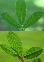Figura 3. Hojas de Lespedeza serícea (arriba) y Lespedeza común (abajo) (Fotos P. McCullough).
