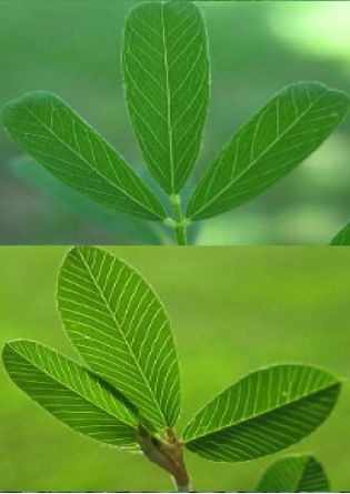 Figure 3. Leaves of sericea