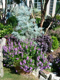 Figure 13. The silvery grey foliage of Juniper and