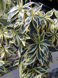 Variegated foliage of Abelia