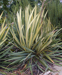 Variegated foliage of Yucca