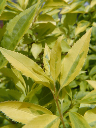 Variegated foliage of Eleagnus