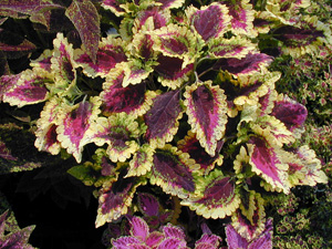 Variegated foliage of Coleus