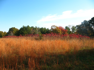 Figure 18 (right). Native Broomsedge turns a distinctive