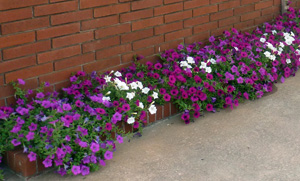 Figure 5. Pink, purple and white petunias against a darker brick building background.