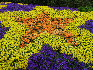 Figure 9. A planting of pansies using a